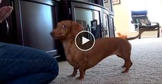 I wish I knew how to train a Doxie this well . So cute ! Looks just like my boy except of course for the awesome trick part. .