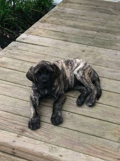 What Cotton would have looked like as a pup ... brindle English Mastiff.