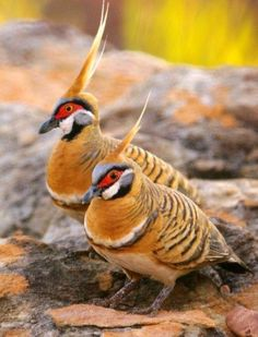 Spinifex Pigeons (Geophaps plumifera) is a bird found in Australia. There are one of only two Australian pigeon species with an erect crest. (450×590)