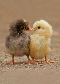 2 sweet chicks