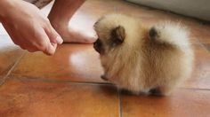 This cream sable pomerian is cute and a tiny walking furball.