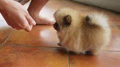 cute tiny pomerian
