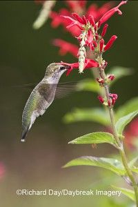 Immature Ruby-throated Hummingbird on Pineapple Sag