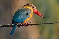 Stork-billed Kingfisher. orientalbirdsimages.org