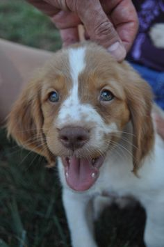 Brittany Spaniel Pup ~ Classic Look Baby Puppies, Cute Puppies, Cute Dogs, Dogs And Puppies, Doggies, Happy Animals, Cute Animals, Brittany Spaniel Puppies, Most Beautiful Dogs
