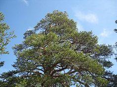 The Oldest tree in Saariselkä area | Saariselkä.  Cabins and Activities in Saariselkä #saariselkä #saariselka #saariselankeskusvaraamo #lapland #astueramaahan #stepintothewilderness #saariselkaMTB http://www.saariselka.com
