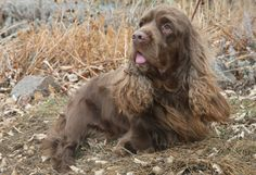 Although the Sussex Spaniel originated centuries ago, the breed's appearance has remained virtually unchanged still today. The Sussex possesses a rich golden liver coat unique to the breed, and has a long, low and somewhat massive body. Although not as fast as other Spaniel breeds, the Sussex has a great nose and is well suited for working through dense underbrush on the hunt.