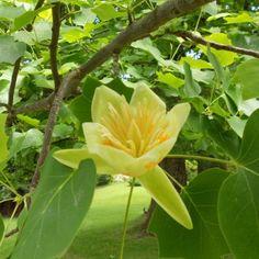 Liriodendron Tulipifera Tree- tulip tree