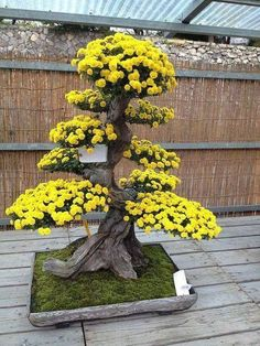 Growing bonsai from their seeds is essentially growing a tree from its seed. Get tips and guidelines on how to grow your first bonsai from its seed phase. Ikebana, Plantas Bonsai, Bonsai Tree Types, Bonsai Trees, Large Bonsai Tree, Bougainvillea Bonsai, Espalier Fruit Trees, Indoor Bonsai, Miniature Trees