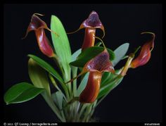 Masdevallia ventricularia. A species orchid (color)