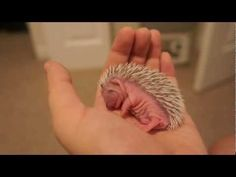 7 Day Old Hedgehog Takes a Nap, and its adorable.