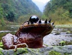 Emei Moustache Toad (Vibrissaphora boringii) by Minghai Dong: During mating season, each male of this endangered species from China grows 10- 16 spines on its upper lip which are used for fighting other males, headbutting each other in the belly to drive the spines into the others flesh. (Image: ChinaFotoPress/Getty) via newscientist. Check out the video! #Toad
