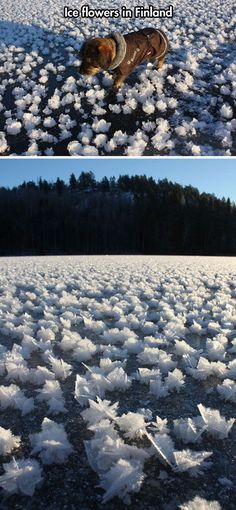 Ice flowers in Finland. /its really just the coolest