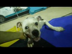 GONE 9/22/2016  HAPPYTEARS ❤️❤️ SAFE❤️❤️ 9/17/16 BY AMSTERDOG ANIMAL RESCUE❤️ THANK YOU SO MUCH❤️❤️❤️LISTED TO BE MURDERED!! Brooklyn Center My name is JOSIE. My Animal ID # is A1088676. I am a spayed female white and br brindle am pit bull ter and amer bulldog mix. The shelter thinks I am about 5 YEARS old. I came in the shelter as a STRAY on 09/06/2016 from NY 11374, owner surrender reason stated was STRAY.