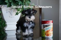 black and silver teacup | toy schnauzer puppy by spoiled rotten schnauzers