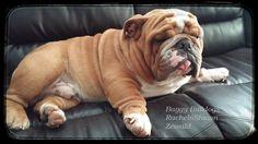 Bulldog Puppies, Dogs And Puppies, Doggies, British Bulldog, French Bulldog, Boy Dog Names, English Bull, I Love Dogs, Funny Dogs