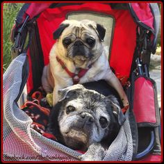 Social Pug Profile   The Bumblesnot http://www.thepugdiary.com/social-pug-profile-the-bumblesnot/
