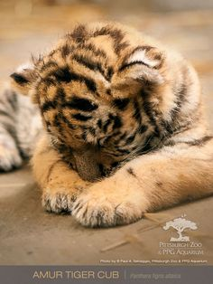 Pittsburgh Zoo's Amur Tiger cub makes an appearance in the zoo's digital calendar, as the face of June. Born on March 31st of this year, the cub was previously featured on ZooBorns. Since then, he's come out of his den...