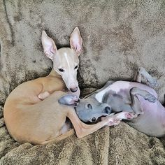 Vivienne  Italian Greyhound