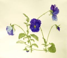 Pansies, in botanical style, detailed drawing on cotton paper
