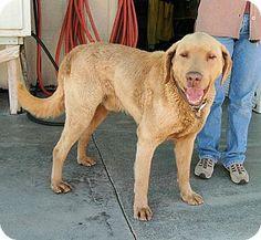Red Bluff, CA - Chesapeake Bay Retriever Mix. Meet NORMAN, a dog for adoption. http://www.adoptapet.com/pet/10954698-red-bluff-california-chesapeake-bay-retriever-mix
