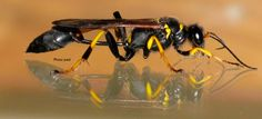 Though these wasps resemble aggressive species, dirt daubers, more commonly referred to as mud daubers, are not aggressive. The female hunts for spiders to bring back to the nest as future food for larvae. The male guards the nest to protect the larval cells from intruders, such as parasites. Though dirt daubers have stingers,...