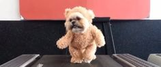 This Dog Dressed As A Teddy Bear Actually Makes Exercise Look Fun