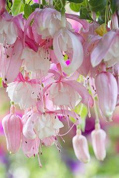 hungariansoul: flowersgardenlove: fuschia Beautiful gorgeous pretty flowers ♥