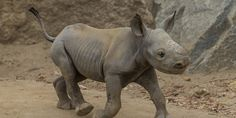 This Critically Endangered Baby Rhino Is An Adorable Addition To A Species In Need Pinned by the You Are Linked to Resources for Families of People with Substance Use  Disorder cell phone / tablet app July 28, 2014;      Android https://play.google.com/store/apps/details?id=com.thousandcodes.urlinked.lite   iPhone -  https://itunes.apple.com/us/app/you-are-linked-to-resources/id743245884?mt=8co