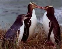 yellow eyed penguin - Yahoo Image Search results