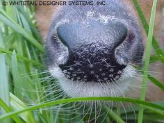 Whitetail Fawn Nose Taxidermy Reference Photo Quality Taxidermy Supply