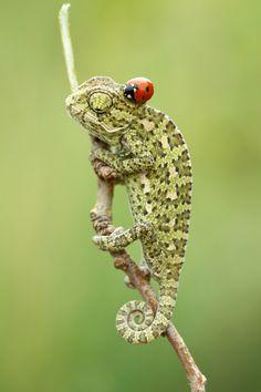 The lady bug looks like a stylish hat on the gekko