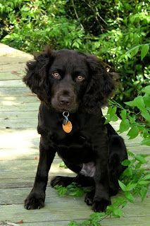 Boykin Spaniel. We are getting two of these babies end of next month!!
