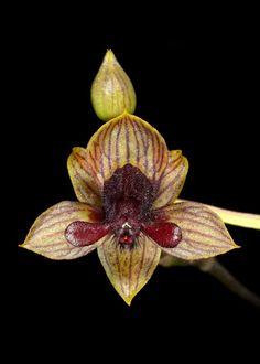 Orchid: Trichoceros - Ron Parsons - Picasa Web Albums