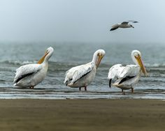 Pelican -Pelican - doing what the hell he can