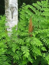Grows well in shady damp spots, and is deer and rabbit resistant.