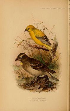 Art 1912 British Warblers Print Male & Female Willow Warbler ~ GrÖnvold