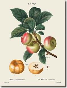 Including Apple Line Drawings and full Color Apple Illustrations. So nice to use in your Fruit themed projects or Designs.