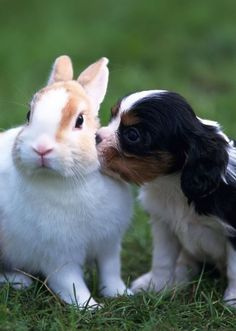 Spaniel puppy and bunny rabbit  | odd couples | animals | | pets | #pets  #animals   https://biopop.com/