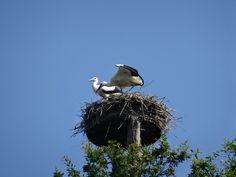 Jonge ooievaars op nest-Wageningen