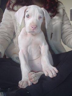 Great Dane puppy!!!!