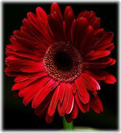 deep red gerber daisy