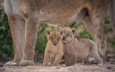 A look back at the Nkuhuma pride cubs... we look forward to taking you on game drives once again and see how these littles ones have grown up.  _ _ _ _ _ _ _ _ _ _ _ _ _ _ _ _ _ _ _ _ _ _ 📷- @wim_van_den_heever 📍- @elephantplainsgamelodge 🌍- Sabi Sand Wildtuin, South Africa  _ _ _ _ _ _ _ _ _ _ _ _ _ _ _ _ _ _ _ _ _ _ _ Looking Forward, Looking Back, Cubs, Panther, Kangaroo, South Africa, Den, Pride, Posts