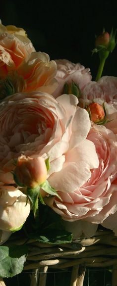 Large cabbage roses in this blush color ~
