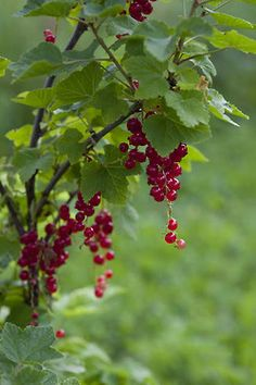 Red currants is a must in most of Finnish gardens. Fruit Garden, Vegetable Garden, Exotic Flowers, Beautiful Flowers, Fruit Photography, All Nature, Fruit Art, Fruit Trees, Belle Photo