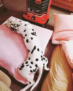 The Perfect Pet For You According To Your Zodiac Sign is part of Dalmatian puppy - No, not unicorns Pet Dogs, Dog Cat, Doggies, Cute Puppies, Dogs And Puppies, Baby Animals, Cute Animals, Silly Dogs, Dalmatian Dogs