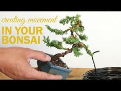 How to Create a Bonsai with Movement : Wiring a bonsai tree trunk - YouTube