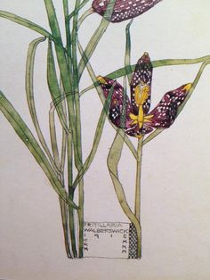 Charles Rennie Mackintosh and Margaret Macdonald Mackintosh - Fritillaria, Walberswick - Charles Rennie Mackintosh, Botanical Drawings, Botanical Prints, Illustrations, Illustration Art, Merian, Glasgow School Of Art, Art Graphique, Art Nouveau