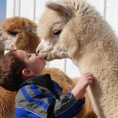 People don't always believe us when we say the alpacas give kisses. Maybe this picture from Lippencott Alpacas in PA will convince them! Animals For Kids, Animals And Pets, Baby Animals, Funny Animals, Cute Animals, Alpacas, Beautiful Creatures, Animals Beautiful, Alpaca Pictures