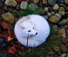 Beautiful Arctic Fox.